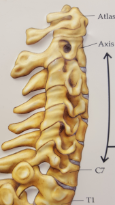 illustration of neck vertebrae